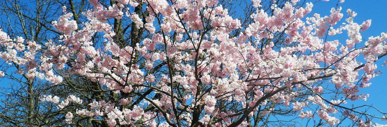 Cerisiers en fleurs - avril - LBO SERVICES - Brabant Wallon